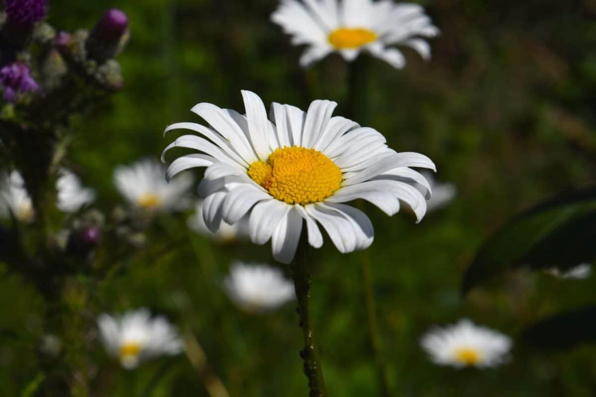 flora, verano, naturaleza, flores silvestres, jardín, planta, flor, Prado