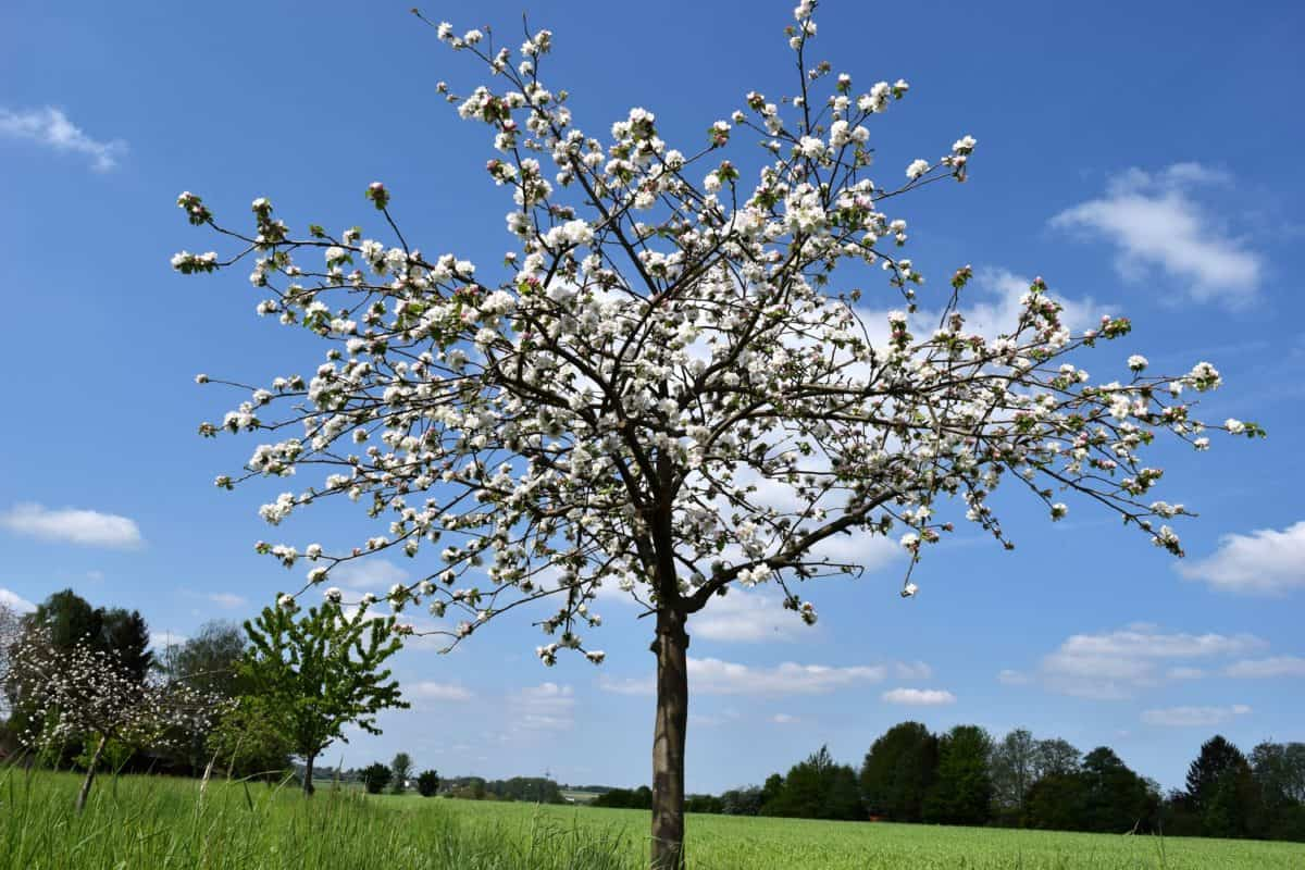 nature, flower, branch, sky, tree, landscape, orchard, plant