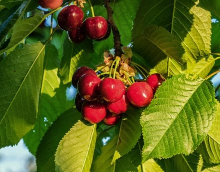 nourriture, arbre, branche, feuille, délicieux, nature, fruits, cerise