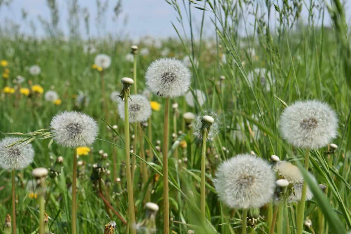 summer, green grass, flower, field, nature, flora, dandelion, seed