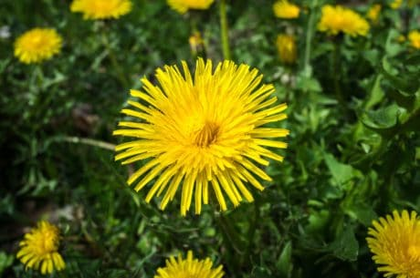 dandelion, flower, green grass, field, flora, garden, summer, nature