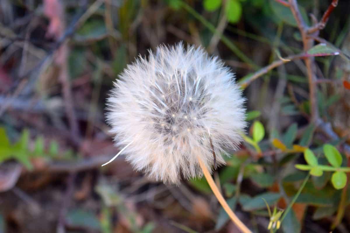 flor, flora, naturaleza, hierba, planta, hierba de diente de León, al aire libre,