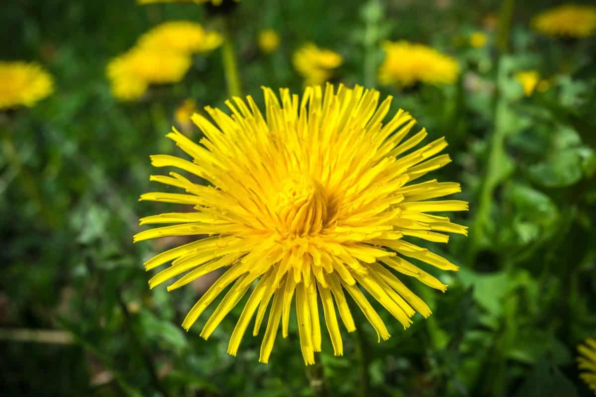 grass, dandelion, summer, nature, flower, garden, flora, herb