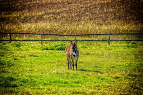 donkey, meadow, fence, grass, animal