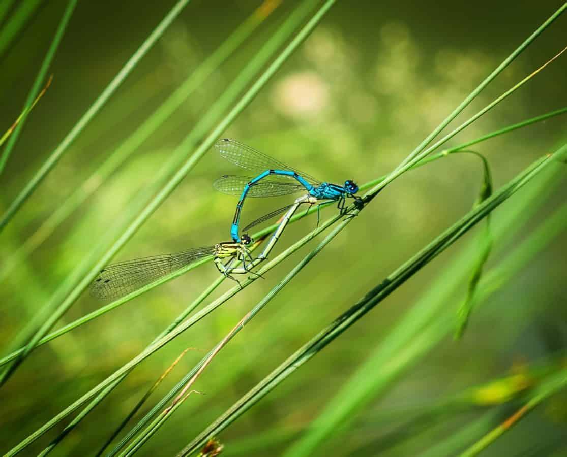 Libellula, erba, insetti, natura, foglia verde, fauna, animale, macro