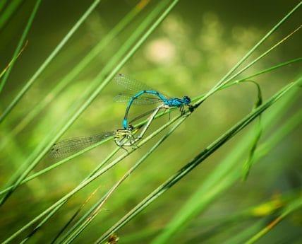Dragonfly, gras, insect, natuur, groen blad, natuur, dier, macro