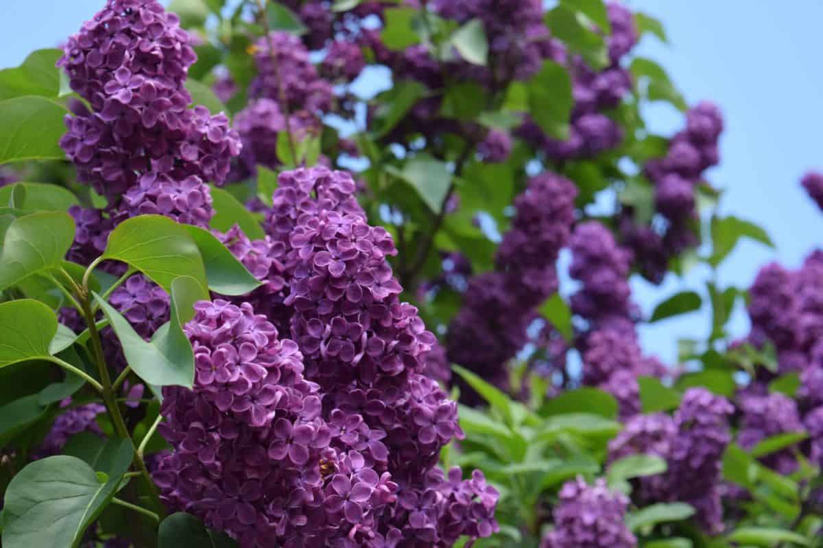 arbusto de jardín, hoja, flor, naturaleza, verano, flora, lila