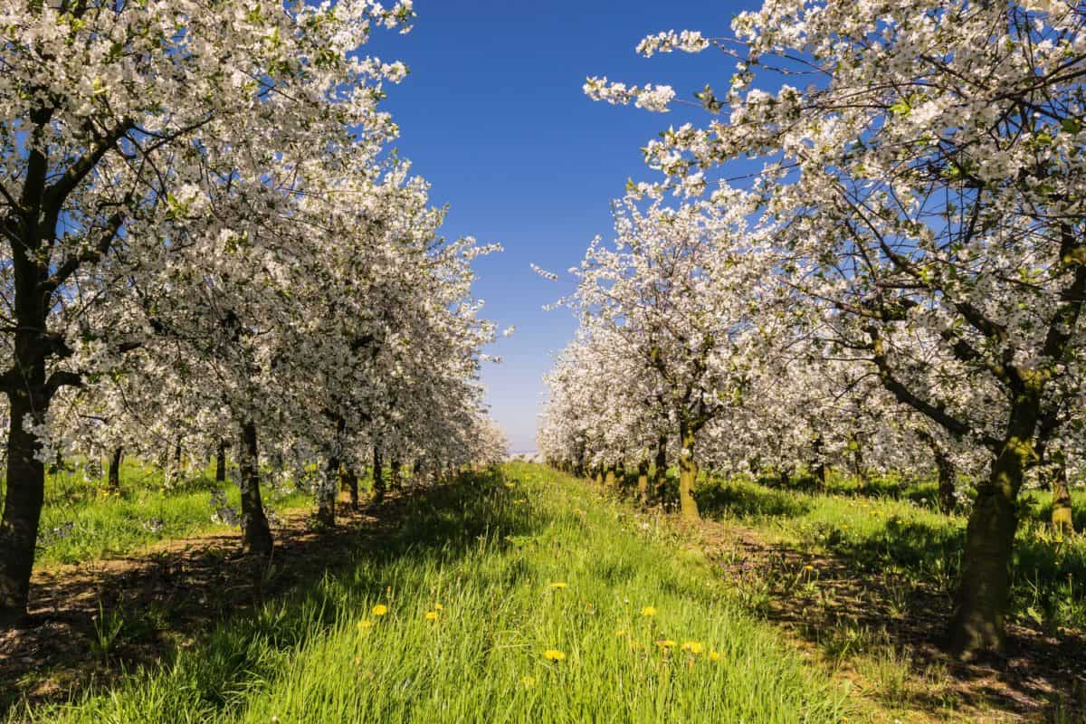 agriculture, orchard, branch, nature, landscape, tree, apple tree, spring