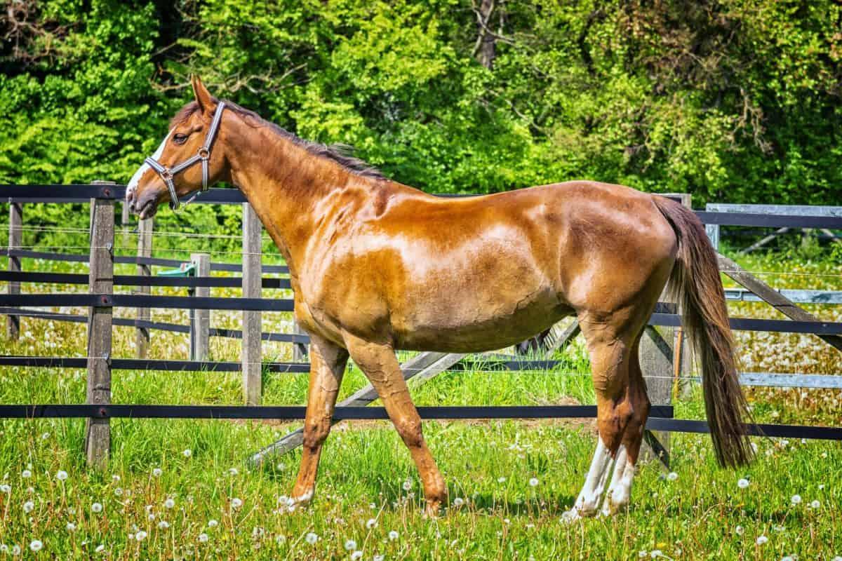 herbe, stallion, cavalerie, champ, animal, cheval, ranch
