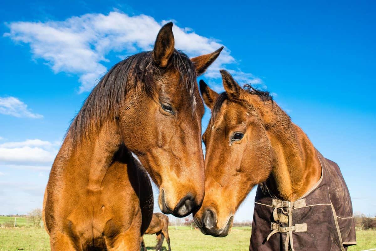 caballo, hierba, campo, animal, equinos, Semental, cielo azul