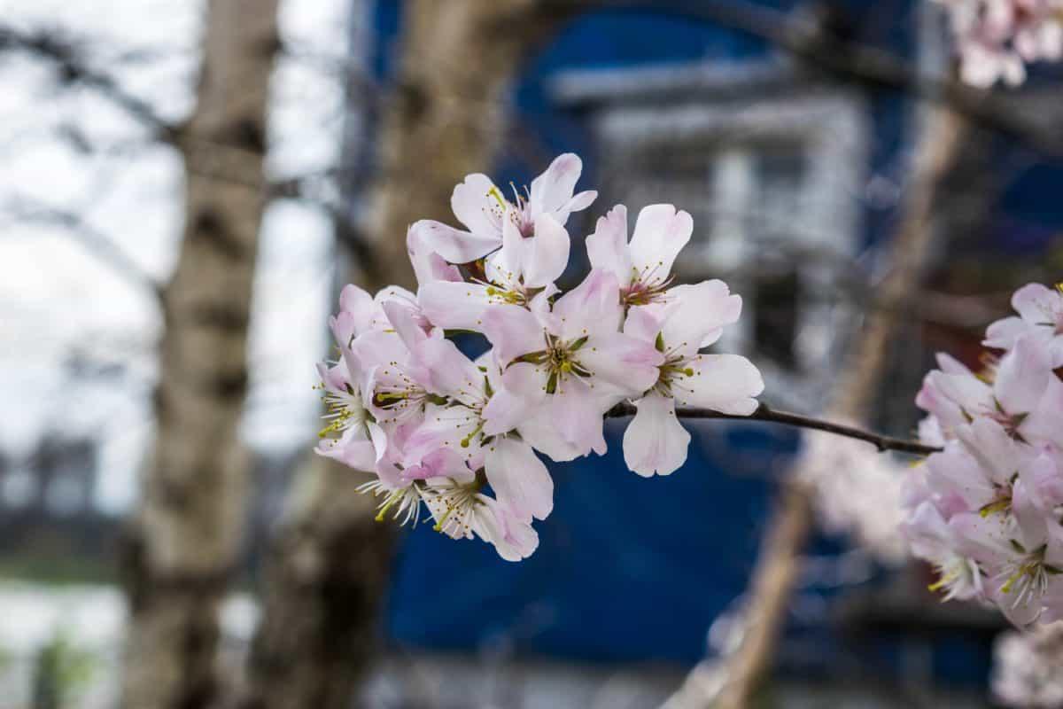 pétale, branche, arbre, fleur, arbre de jardin, cerise, nature, flore
