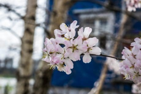 petal, branch, tree, flower, garden, cherry tree, nature, flora