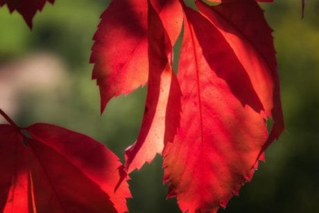 leaf, nature, plant, autumn, red