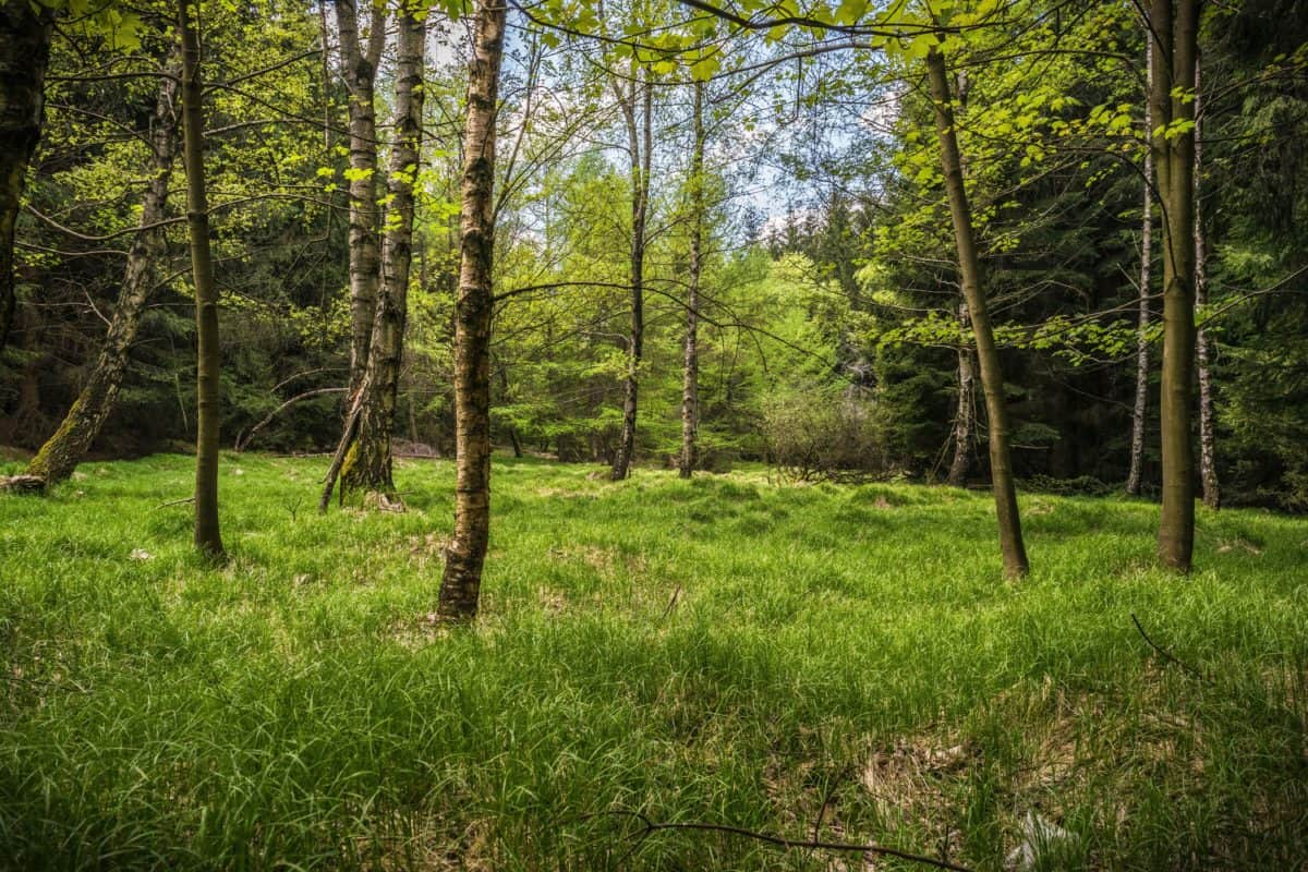 дърво, дърво, пейзаж, листа, природата, околната среда, бреза, гора