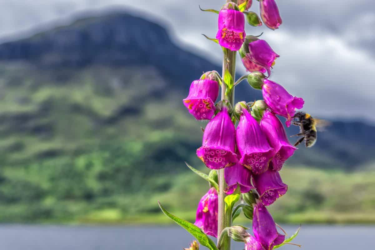 Natur, Sommer, Pflanze, Kraut, Wildblumen, rosa, Garten, Blüte