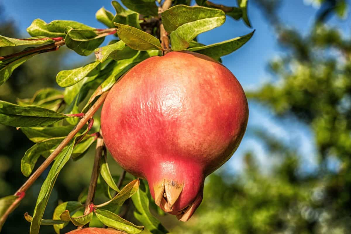 pomegranate, food, garden, organic, nature, leaf, fruit, tree, orchard
