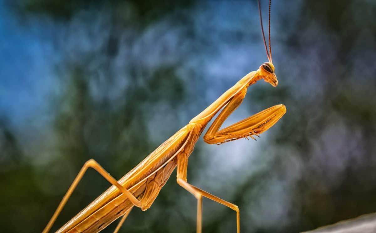 natura, praying mantis, macro, insetti, artropodi, cavalletta, invertebrati
