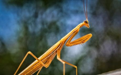 nature, praying mantis, macro, insect, arthropod, grasshopper, invertebrate