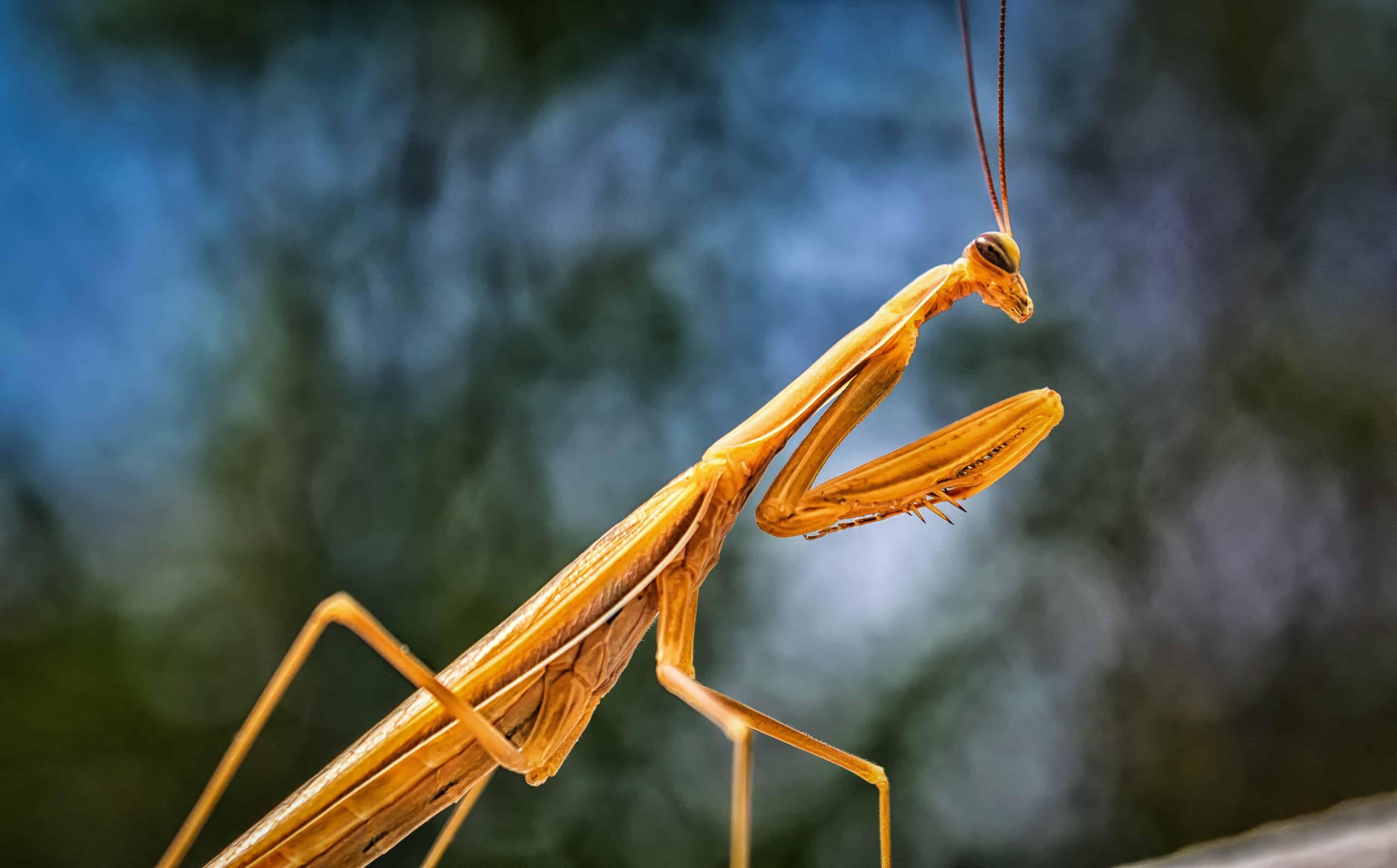 Kostenlose Bild: Natur, Makro, Insekten, Gliederfüßer, Heuschrecke, Mantis, Wirbellosen zu beten