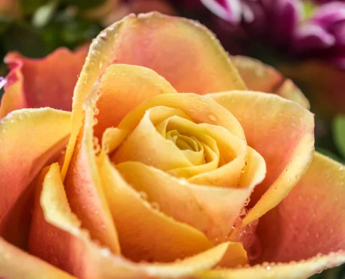 Rose, petalo, fiore, pianta, flora, rugiada, macro, orticoltura