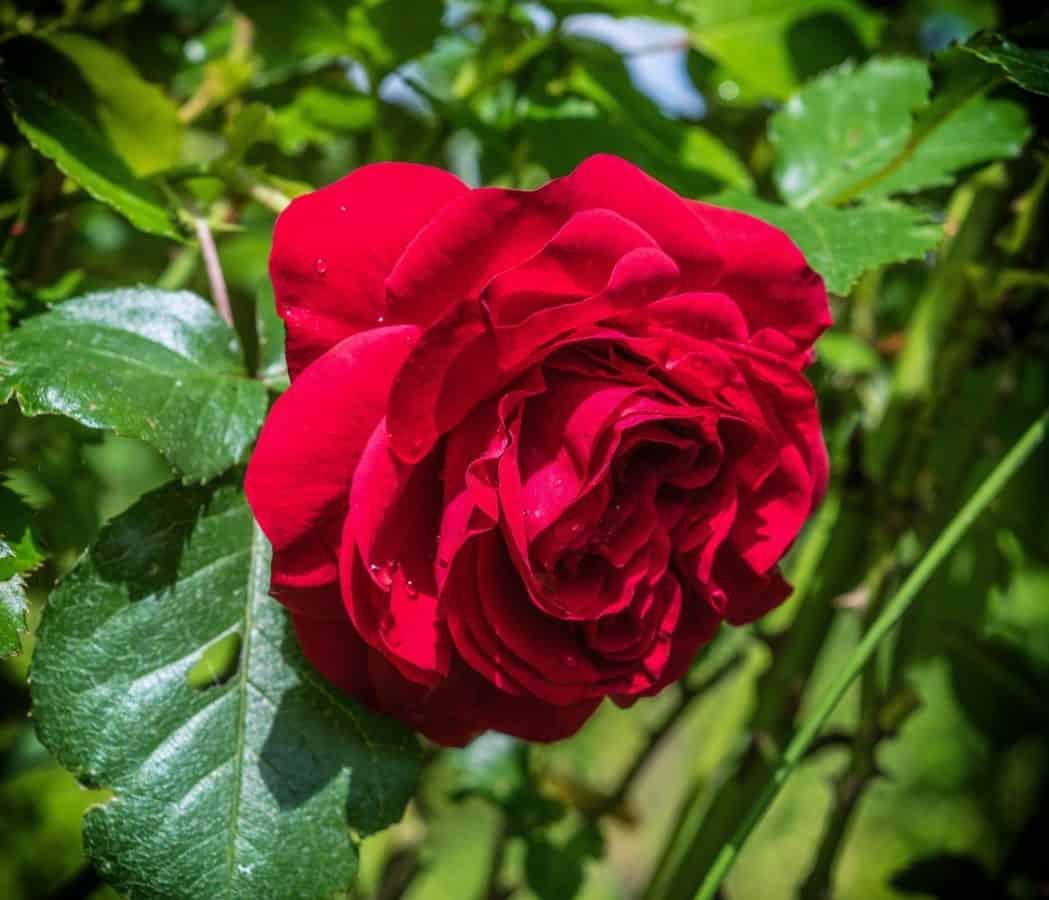 natura, petalo, foglia, estate, fiore, rosa, flora, pianta, fiore