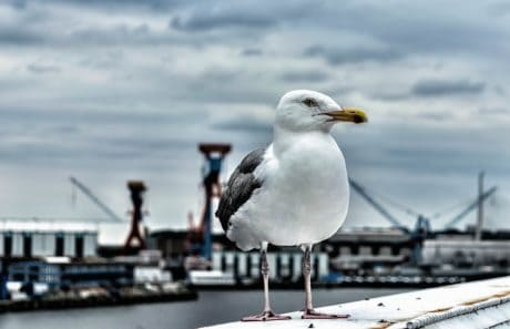 burung, air, laut, burung laut, satwa liar, paruh, seagull, bulu