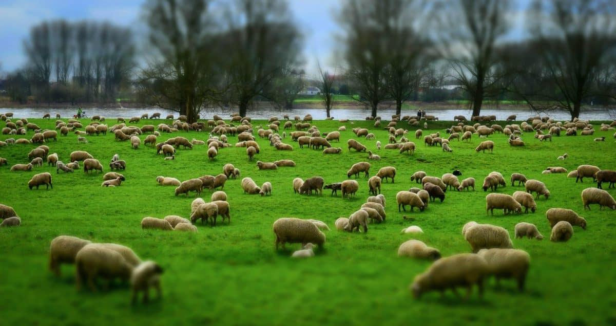 ganado, manada, hierba, agricultura, campo, ovejas