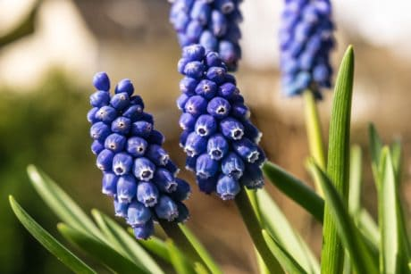 grape hyacinth, flora, garden, nature, green leaf, plant