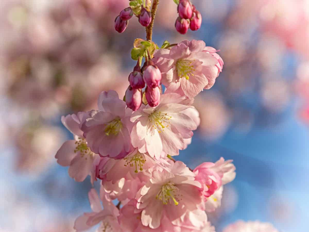 branch, flora, nature, cherry tree, flower, tree, pink, blossom