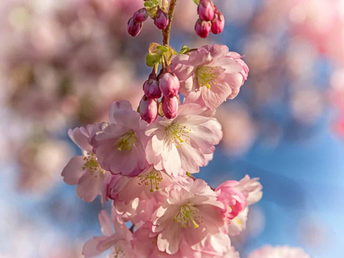 gren, flora, natur, kirsebærtre, blomst, tre, rosa, blomst