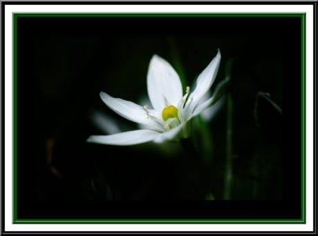 photomontage, design, darkness, white flower, frame, blossom, petal