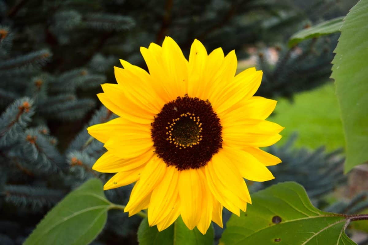 verano, hoja, jardín, flor, flora, naturaleza, girasol, planta