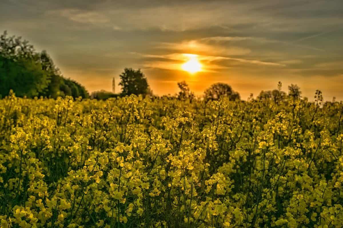 landbrug, natur, felt, landskab, sommer, blomst