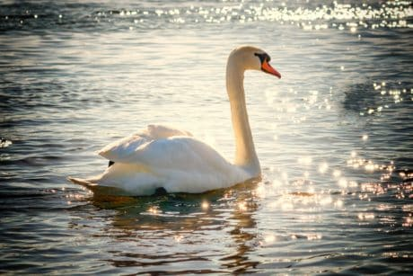 lake, bird, white swan, water, waterfowl, sunshine, feather, wildlife