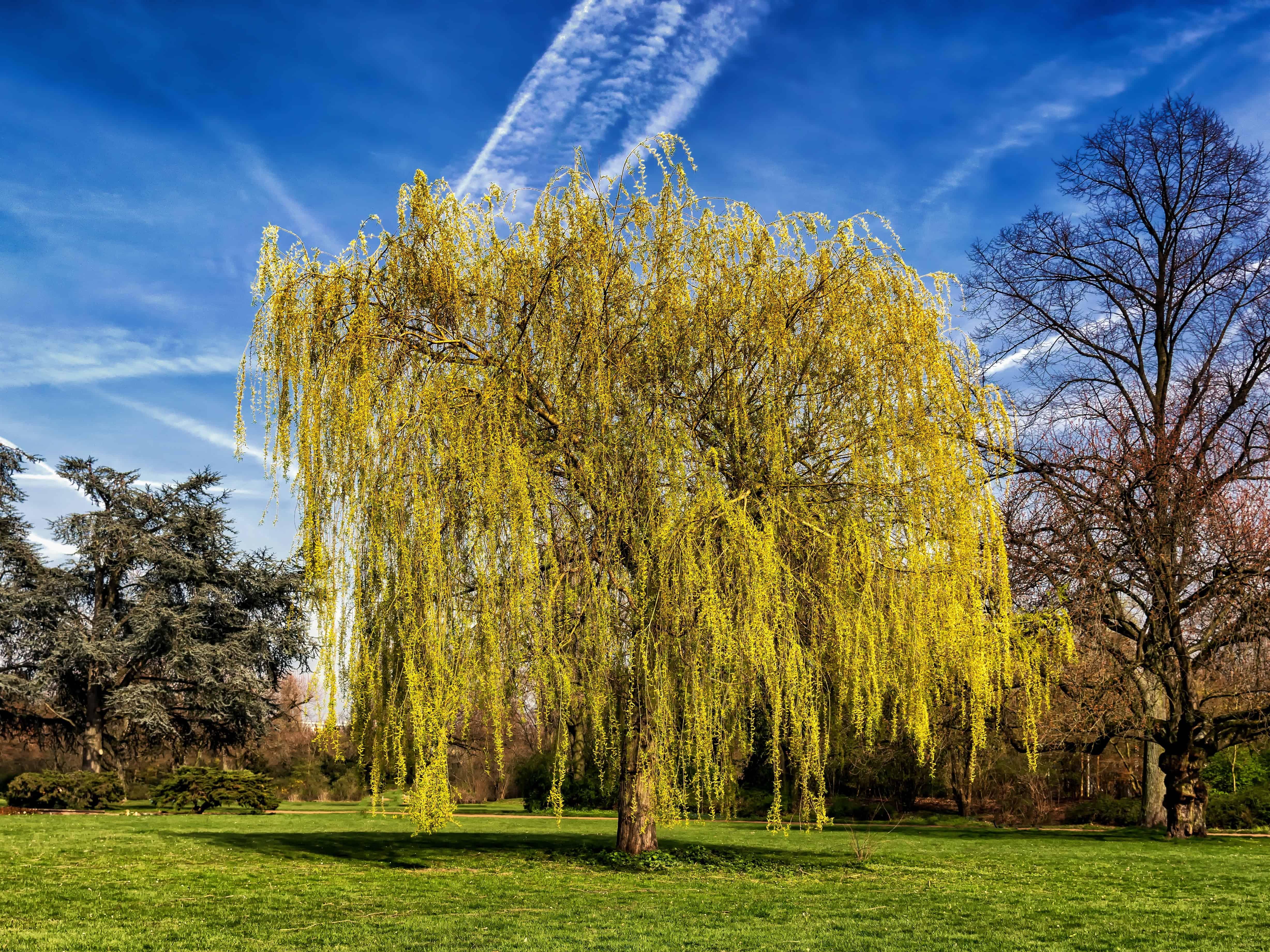 Картинки дерево верба