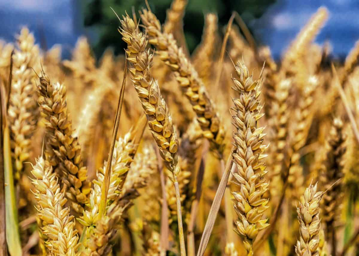 зърно, брашно, слама, зърнени, земеделие