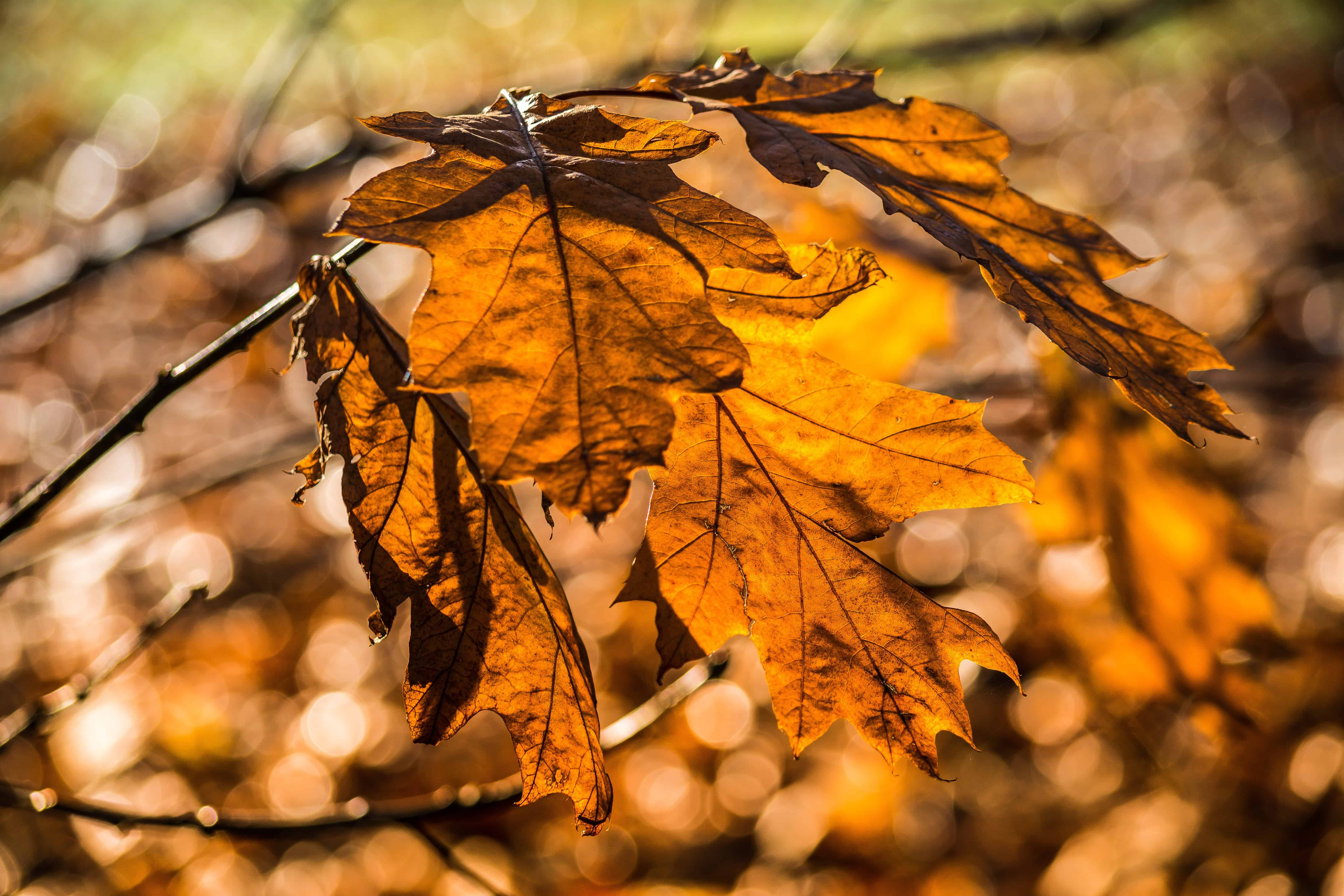 Free picture: flora, brown, tree, autumn, dry, leaf ...