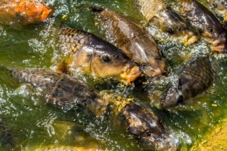 nature, fish, animal, carp fish, pond, water