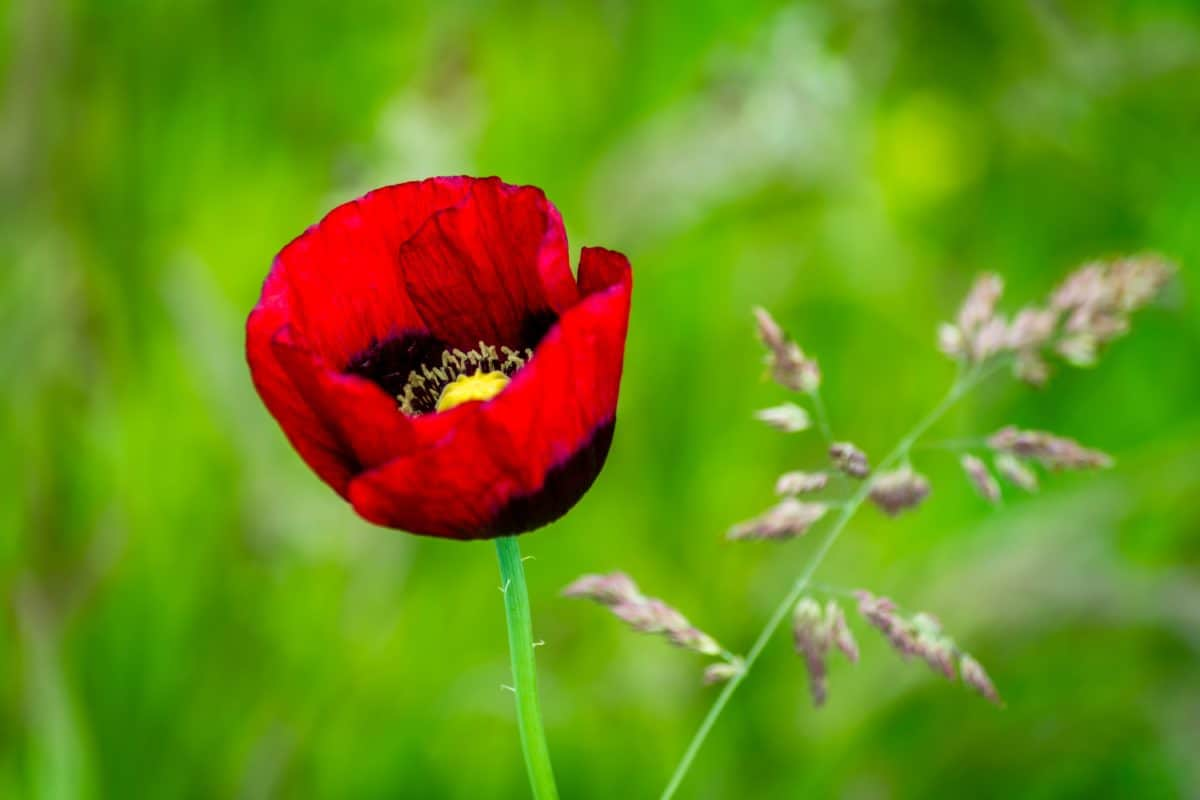 flower, leaf, nature, summer, flora, poppy, petal