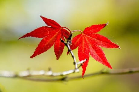 nature, red leaf, autumn, plant, flora, branch, ecology