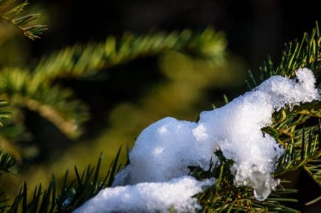 tree, winter, snow, branch, evergreen, ice, snowflake