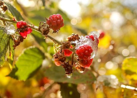 fruit, branch, tree, macro, red, berry, leaf, nature, raspberry, sweet