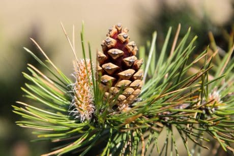 pine tree, branch, spruce, nature, tree, evergreen, conifer, green leaf