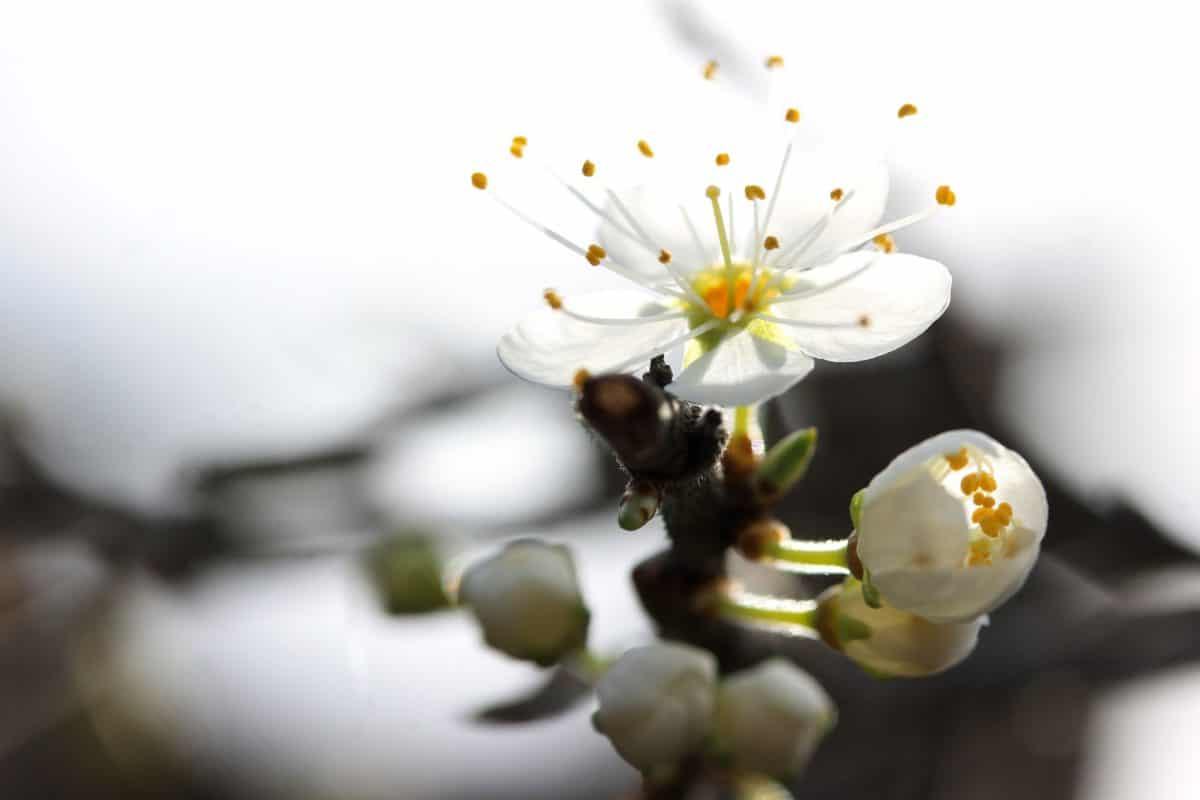 pommier, nature, fleur, plante, fleur, aubépine, pétale, fleur