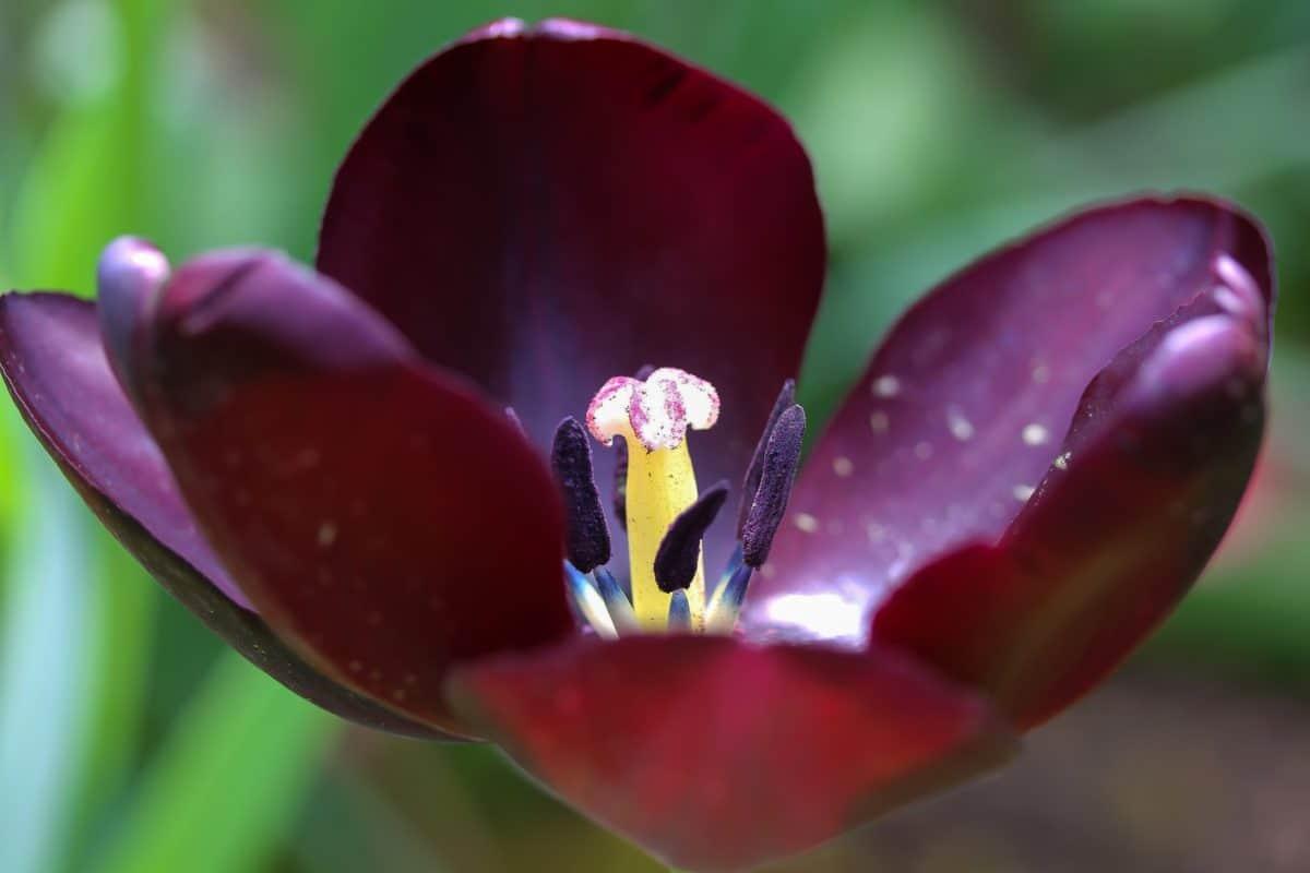 tulipano, natura, macto, polline, fiore, pianta, petalo, orticoltura, giardino