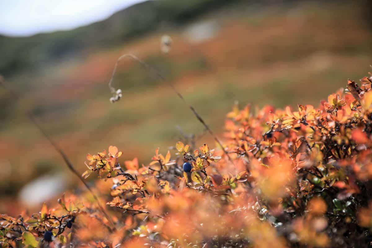arbusto, otoño, detalle, día, planta, naturaleza, flora, al aire libre