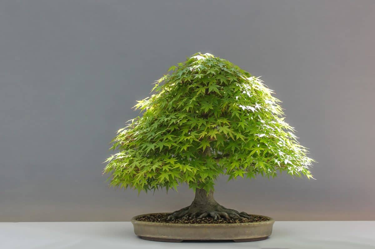 arbre, bonsaï, plante, nature, plante, nature morte