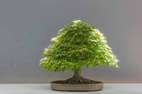tree, bonsai, plant, nature, herb, still life