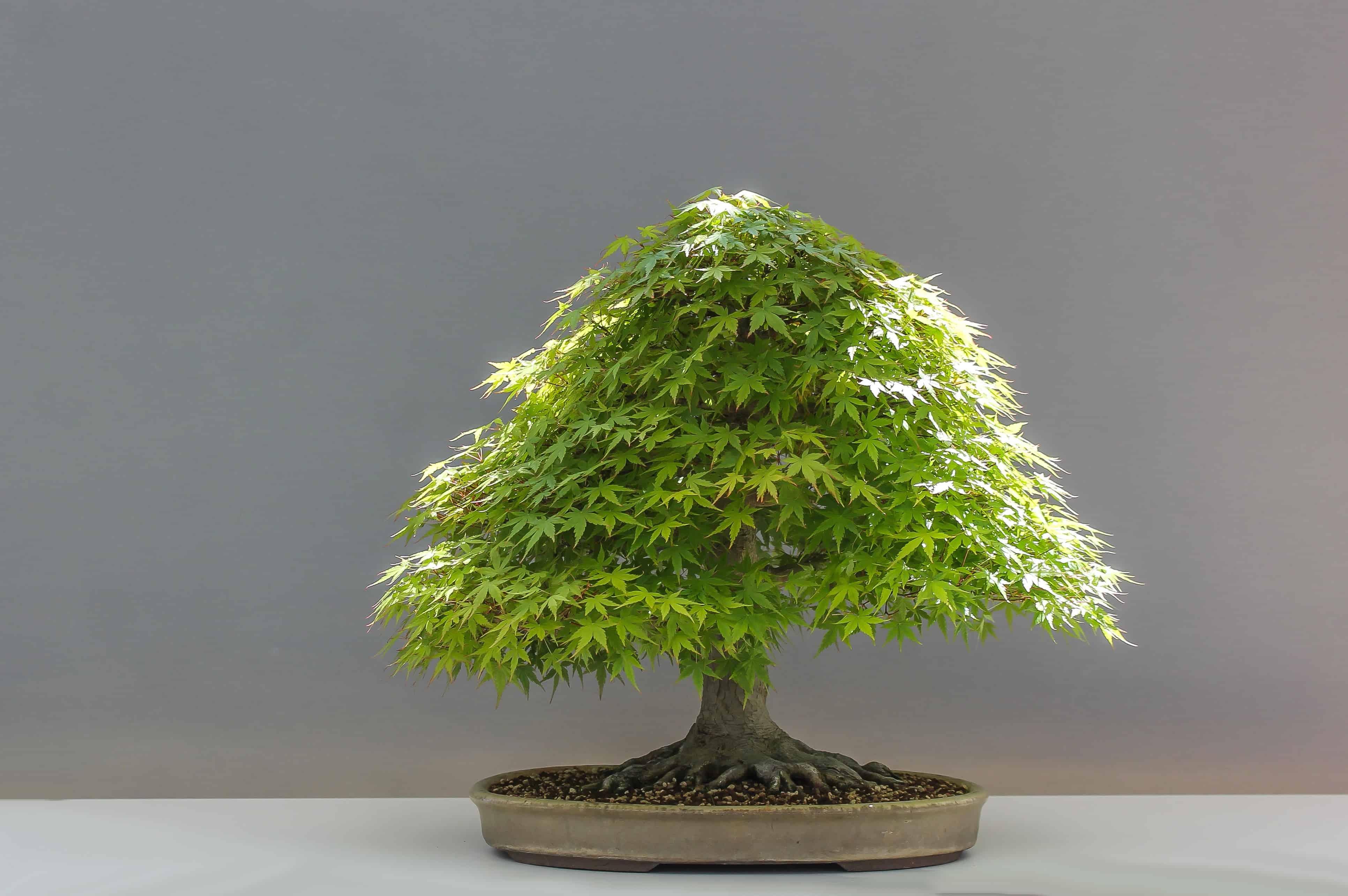 Kostenlose Bild: Baum, Bonsai, Pflanze, Natur, Kräuter ...