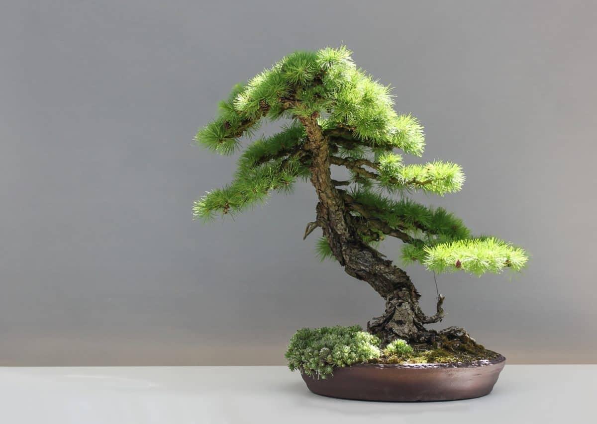 sempreverde, albero, foglia, bonsai, natura, pianta